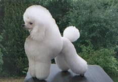 Girly modern poodle